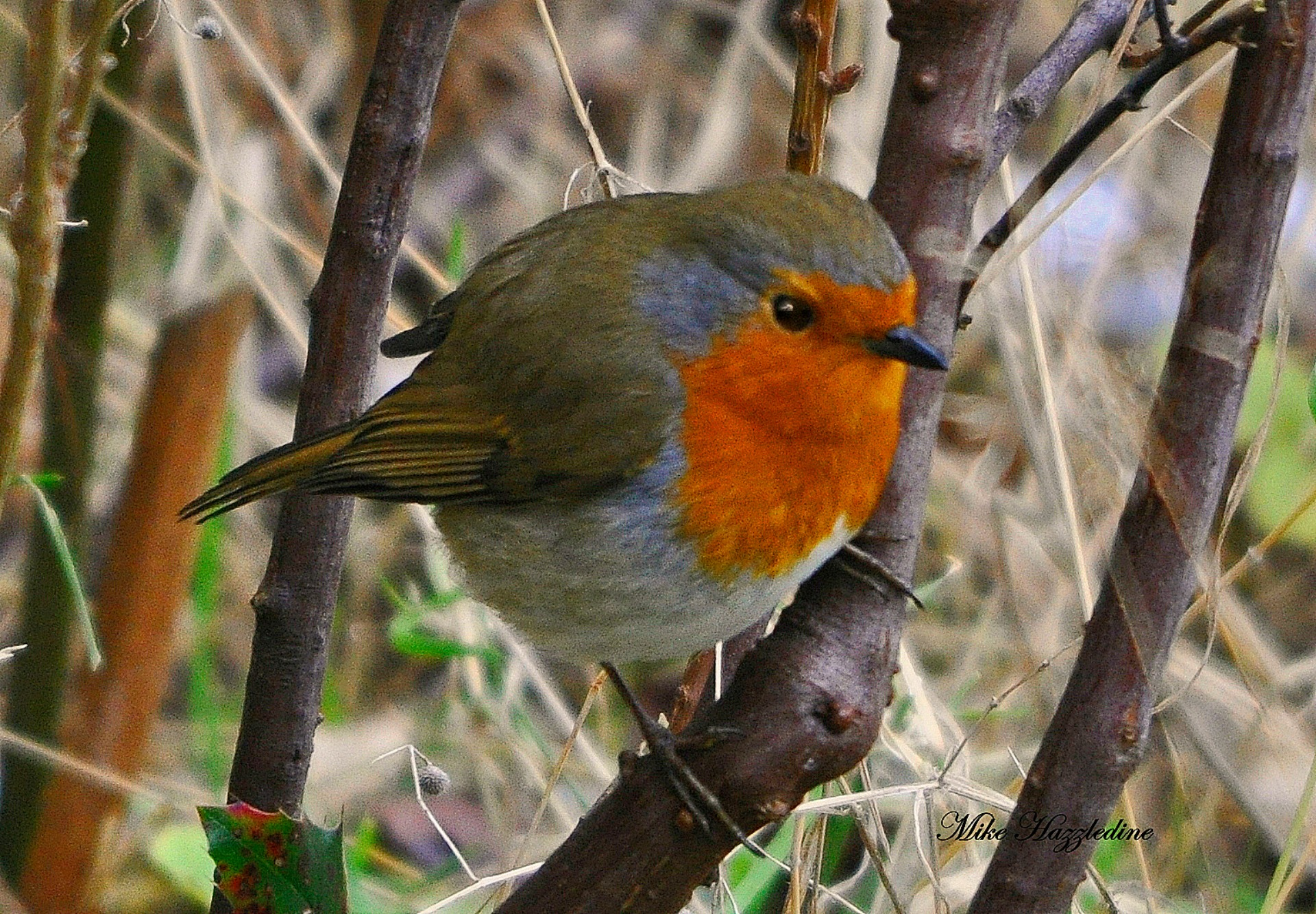 Should the robin be the UK's national bird?