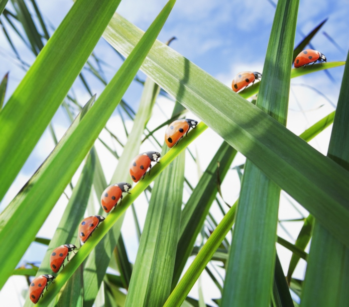 72,000 ladybugs released in school for