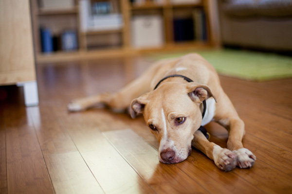 Sad pit bull