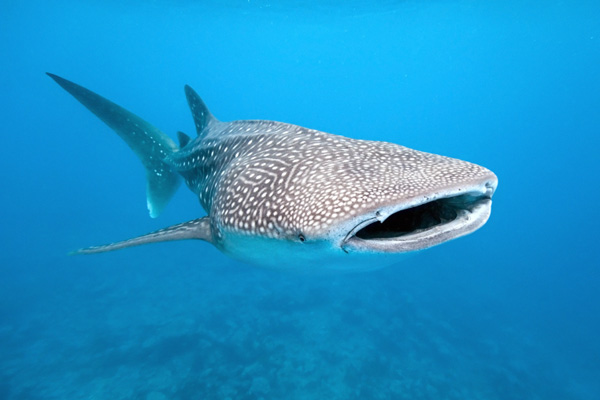 Whale shark rescue