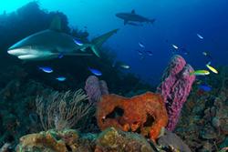 Sharks Reef Bahamas Mural