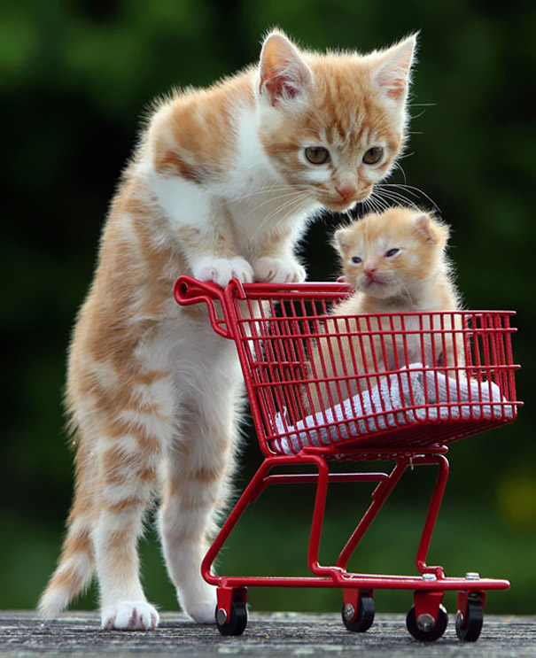 cats with a shopping cart