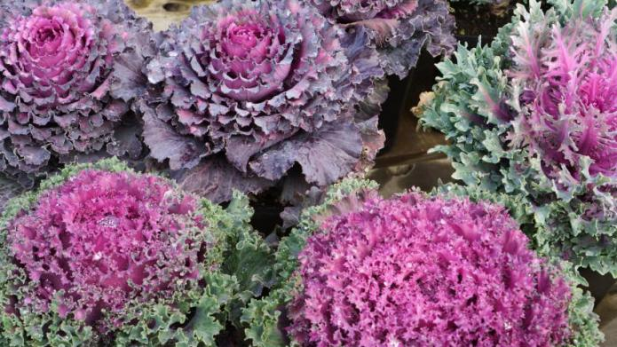 The beauty of ornamental kale