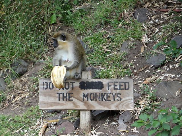 St. Kitts monkeys