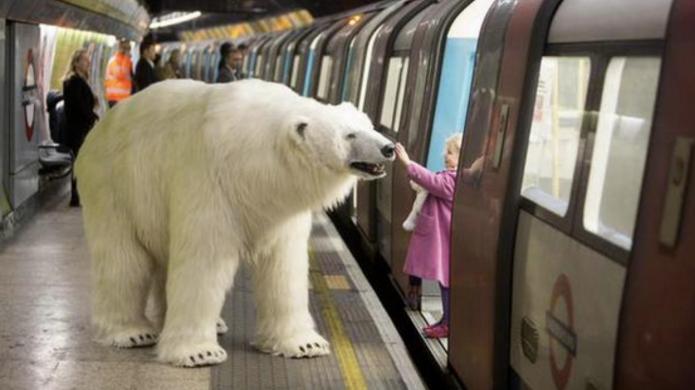 Why is a polar bear taking