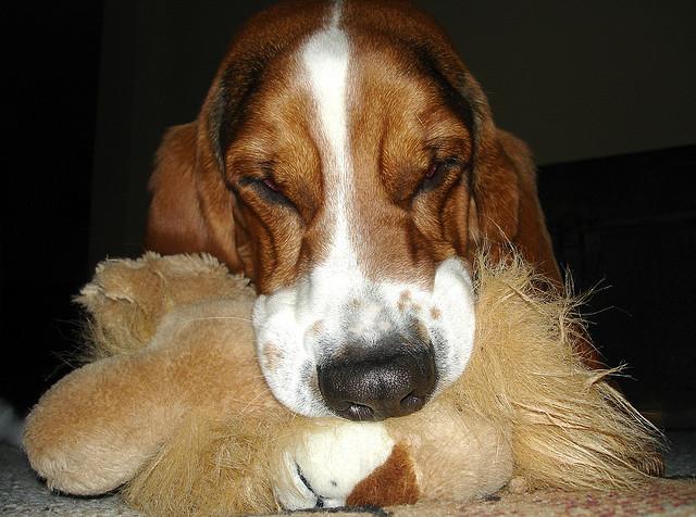 Basset hound biting stuffed animal