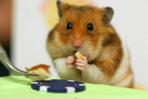 Tiny hamster eats tiny hot dogs
