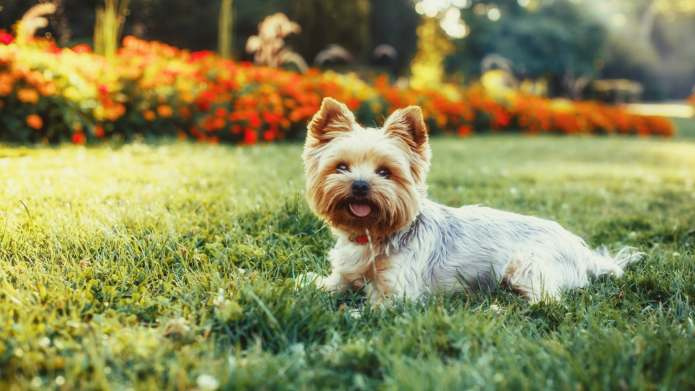 17 Things Only Yorkshire Terrier Owners