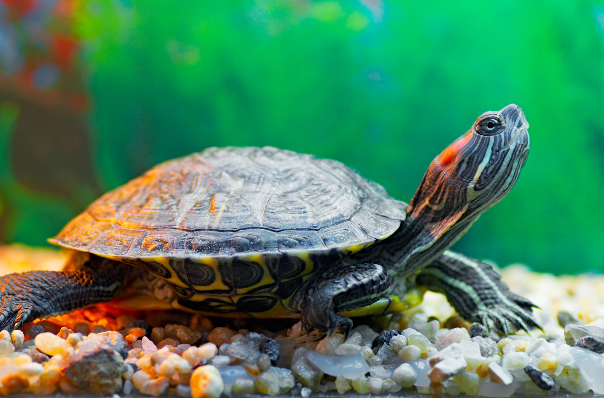 Aquatic turtle