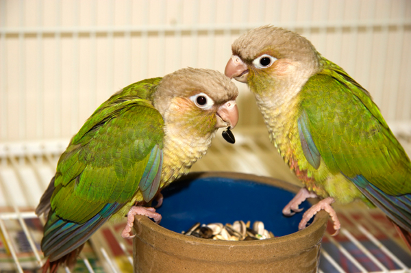 Two conures eating from a dish