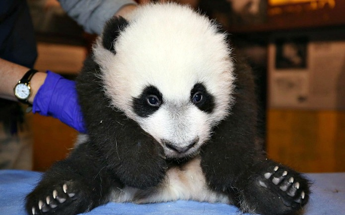 Courageous panda cub needs his mom's