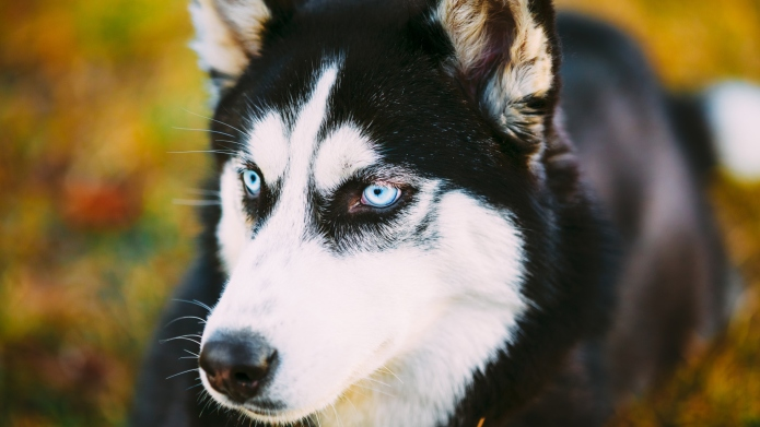 19 Things only Siberian Husky owners