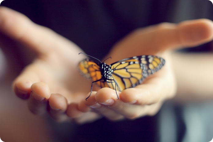 Boy's hands holding monarch butterfly. White
