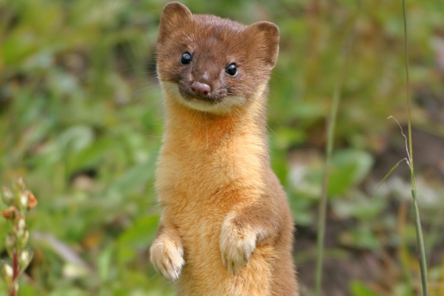 Weasel testicles as birth control