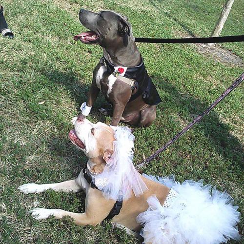 Pitbull party