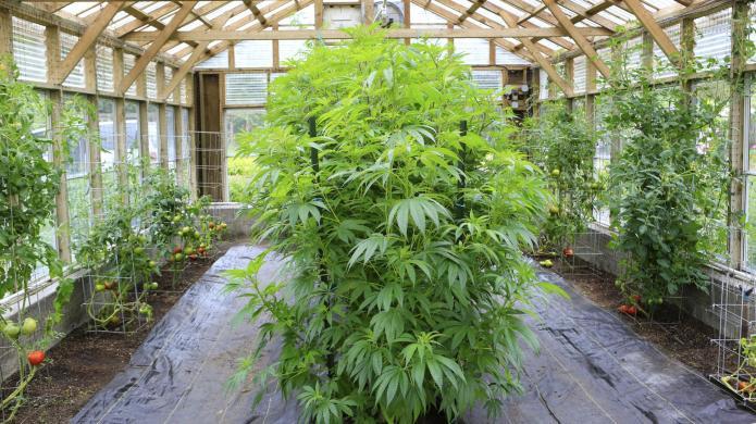 Marijuana-based sex lubricant: It's real but