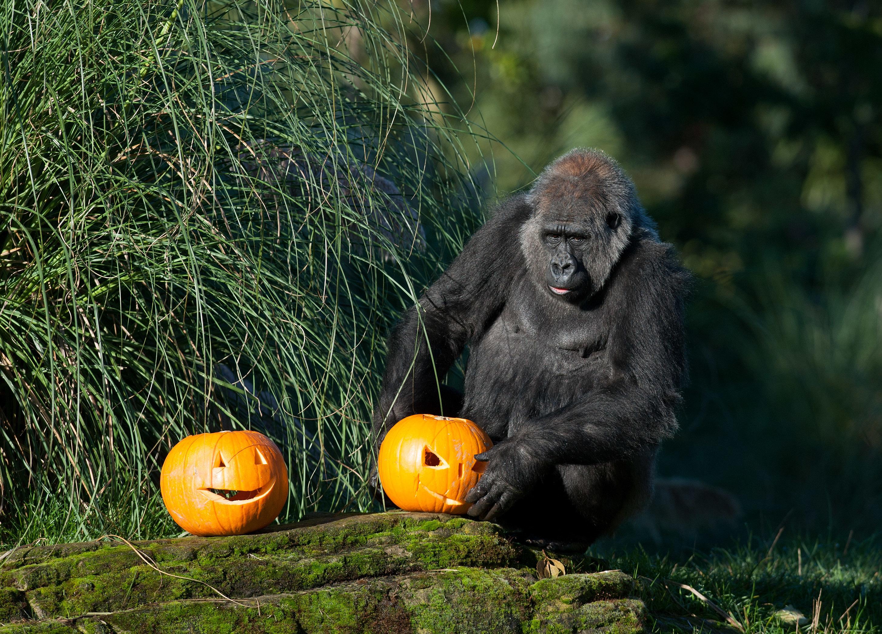 gorilla pumpkin