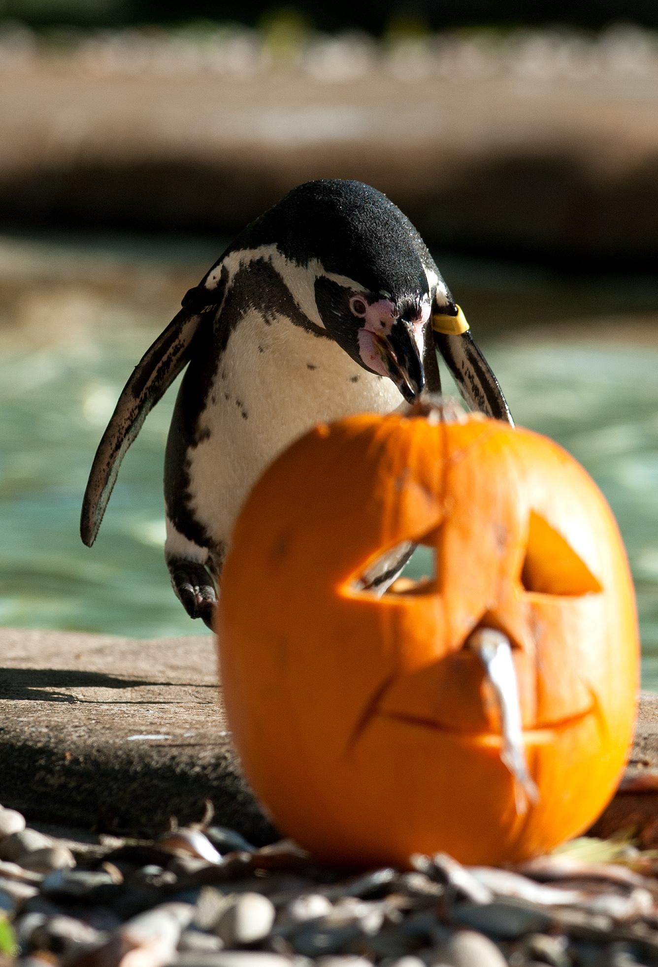 penguin pumpkin