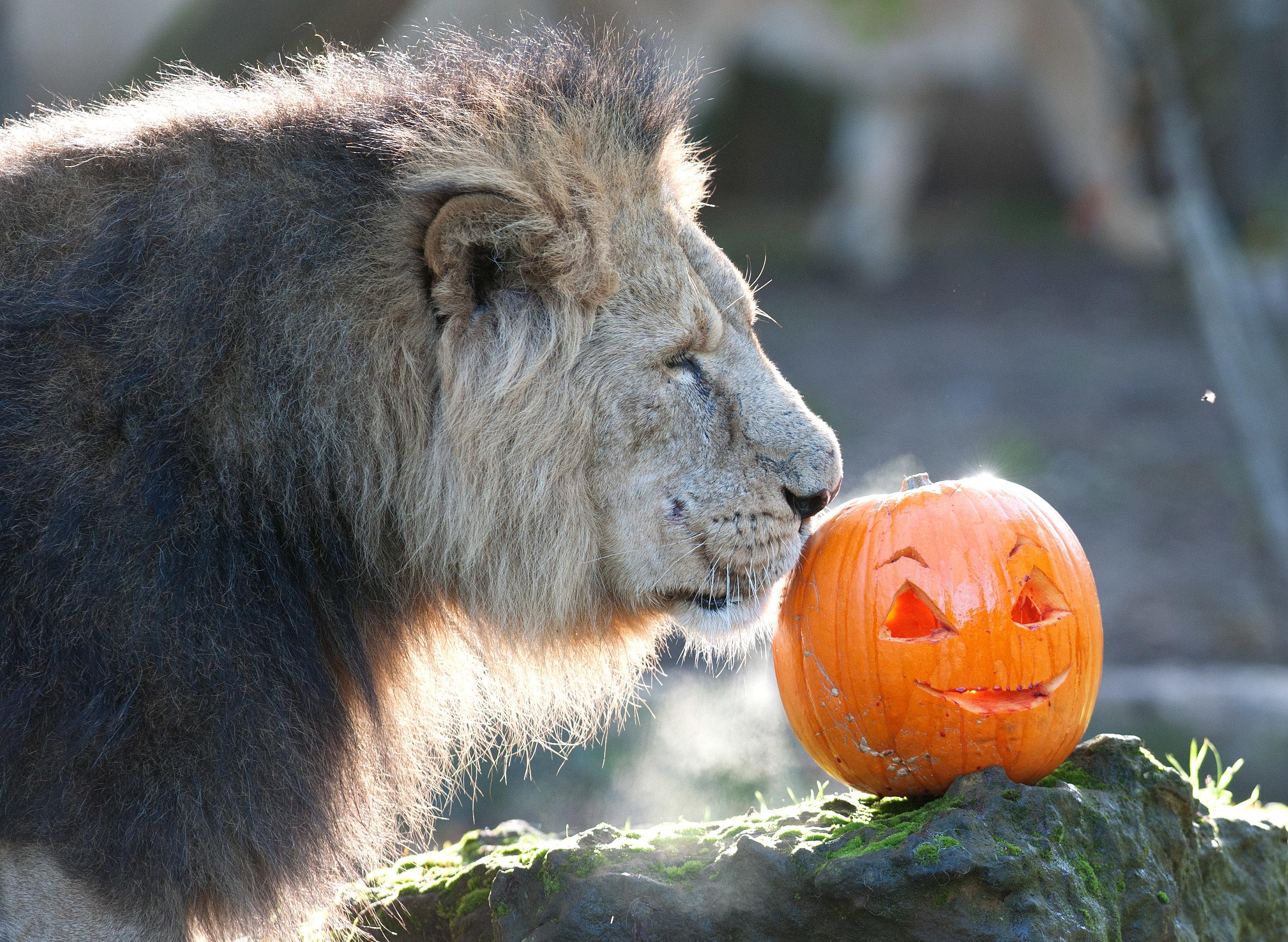 Lion pumpkin 2
