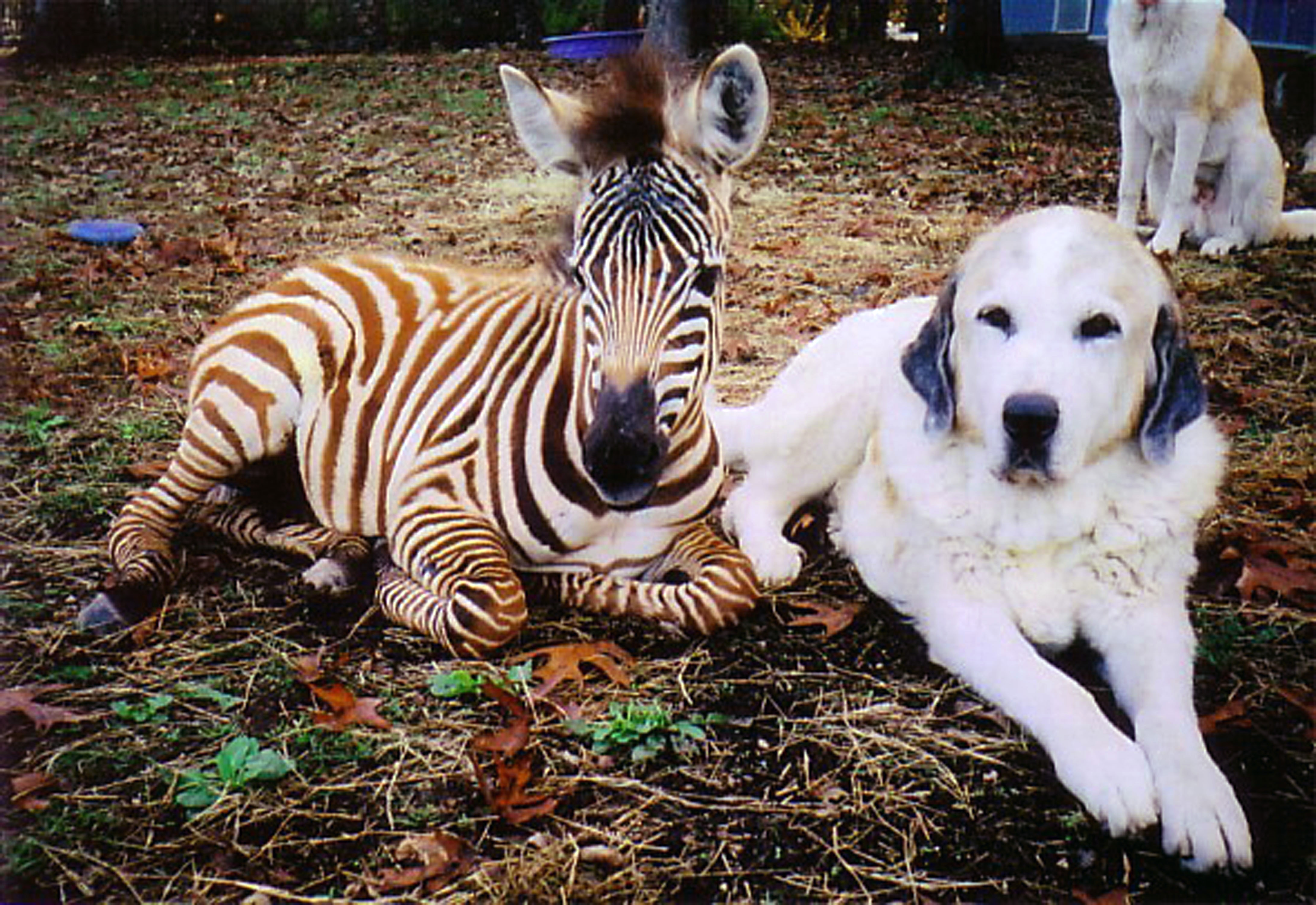 Dog and a Zebra