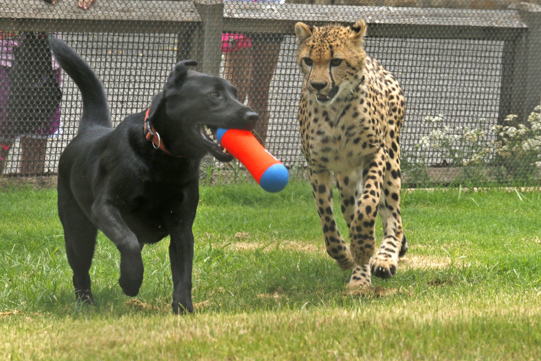 dog cheetah