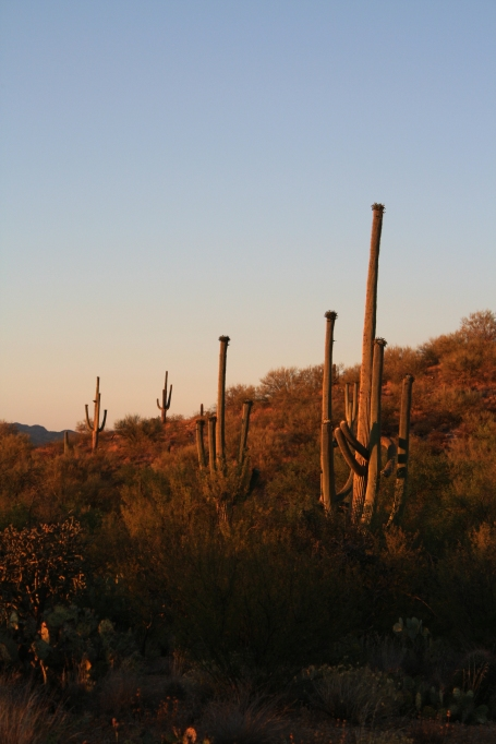 Saguaros at sunset at Saguaro National Park