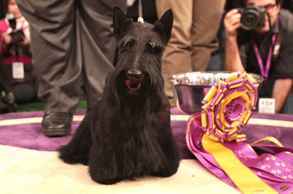 Westminster show dogs
