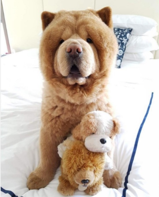 Dog breeds that look like teddy bears