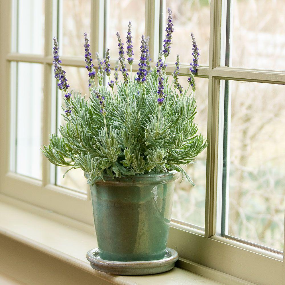 Lavender flowering plant