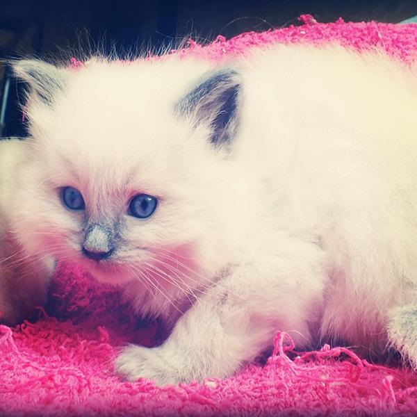12 white fluffy kittens
