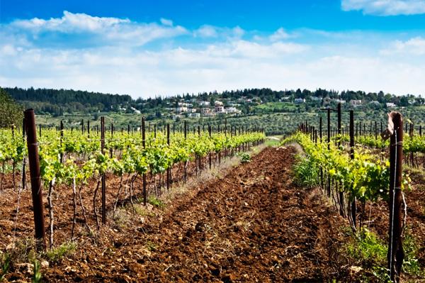 Vineyard in Israel