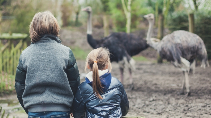 Kids looking at ostriches