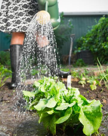 Woman gardening salad