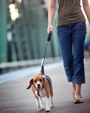 Woman walking beagle