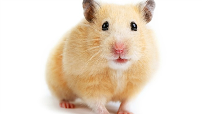 8 Hamster facts that will change
