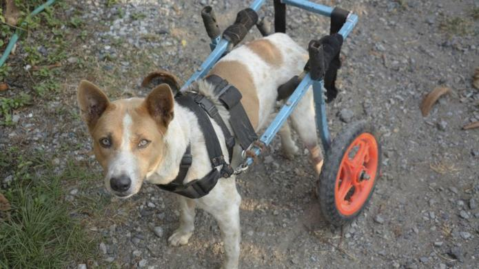 Dogs in wheelchairs still love to