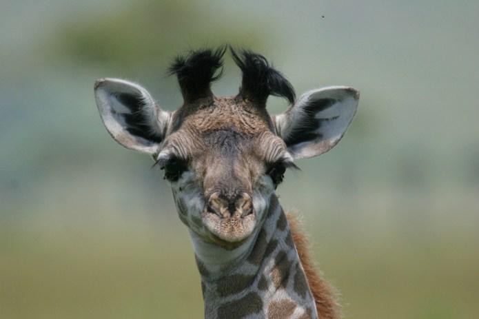 We're Living for April the Giraffe's