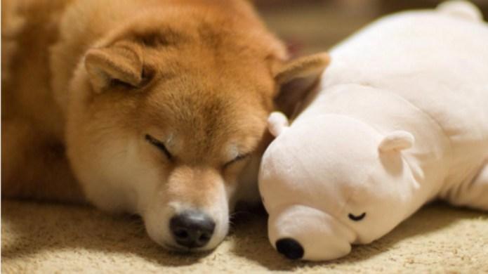 Photos of Shiba Inu with stuffed