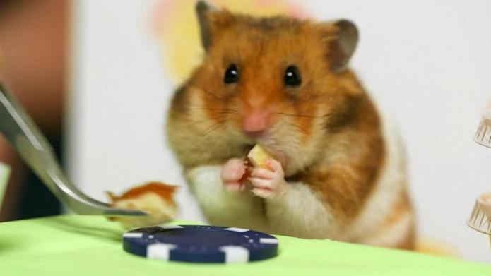 Cuteness overload! Hamster wins hot dog
