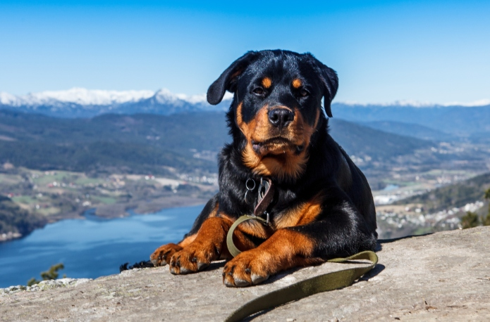 11 Things only Rottweiler owners understand
