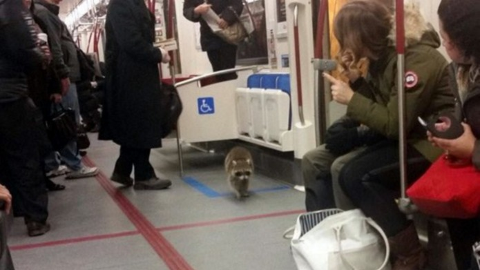 Raccoon gives train commuters something to