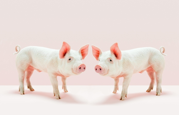 Piglets standing face to face in