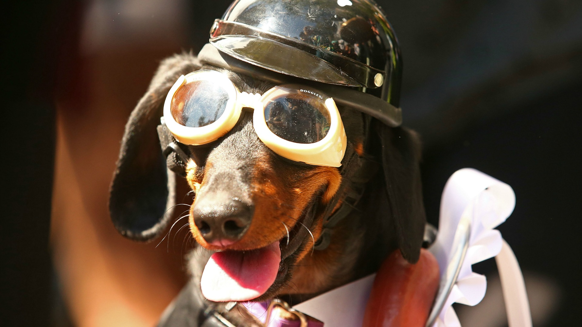 16 pictures that prove dachshunds totally own halloween – sheknows