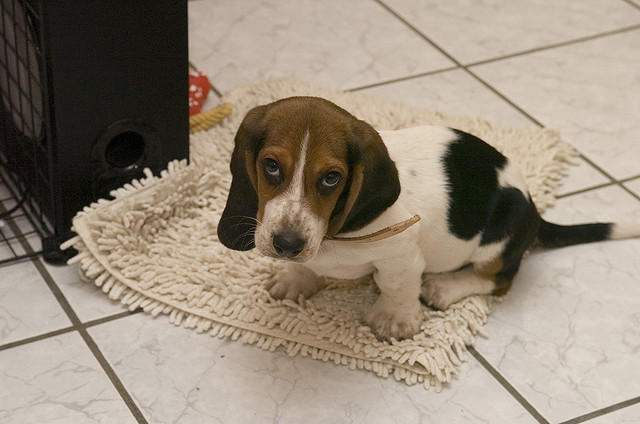 Basset hound puppy with guilty look