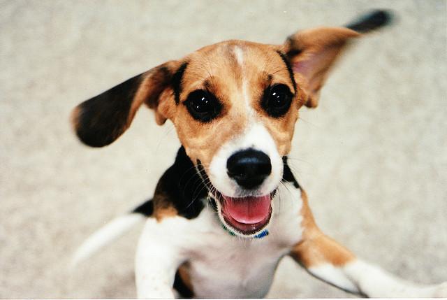 Beagle puppy jumping
