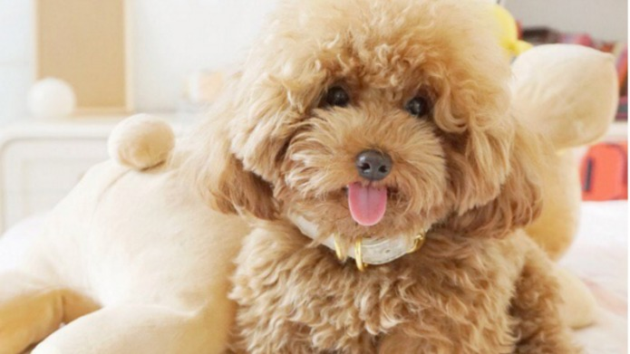 Ginger Doodle the poodle has more