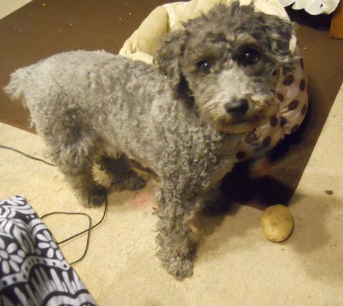 Zeus the miniature poodle