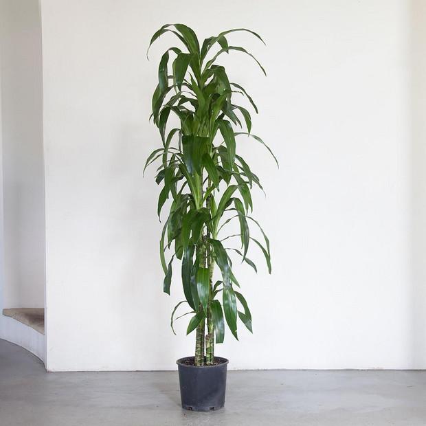 Big, Leafy House Plants: