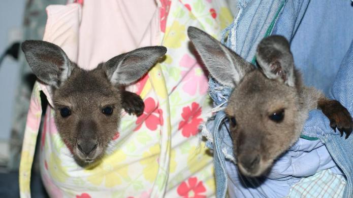Woman has baby kangaroo service animal,