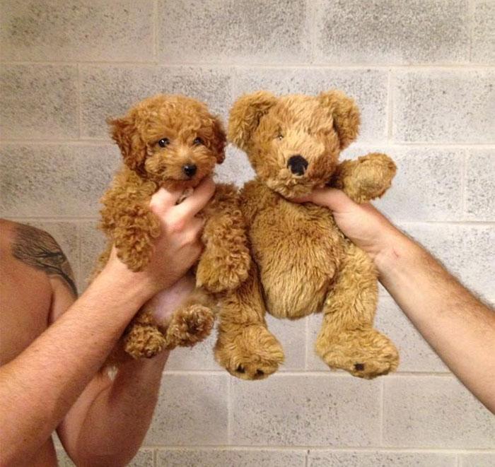 Dog that looks like a Teddy bear